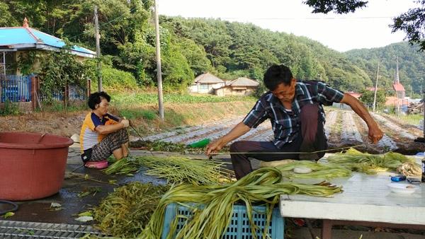 장항읍 주민이 만든 다큐멘터리에 '태모시'에 나오는 노부부. 다 자란 모시를 베어 겉껍질을 제거하는 작업을 하고 있다.